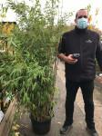 BAMBOU NON TRAÇANT - FARGESIA 'OBELISK'   POT 40CM