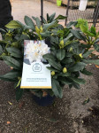 RHODODENDRON CUNNINGHAM WHITE C7.5L