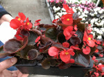 BEGONIA ROUGE FEUILLES BRONZES barq.6
