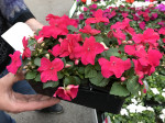 IMPATIENS ROSE VIF barq.6