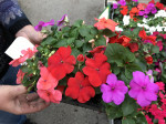 IMPATIENS COLORIS MIX barq.6