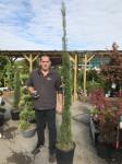 Coniferes
