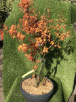 ACER PALMATUM ORANGE DREAM COUPE 30