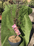 ACER PALMATUM SKEETER S BROOM COUPE