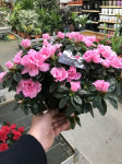 AZALEE ROSE pot 15cm
