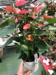 ANTHURIUM ROSE pot 17cm