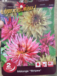 DAHLIAS MELANGE  STRIPES  CAL  X2