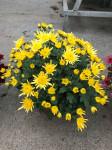 chrysantheme petites fleurs Ø25/30cm jaunes  - pot Ø14cm