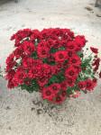 chrysantheme petites fleurs Ø25/30cm rouges  - pot Ø14cm