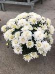 chrysantheme petites fleurs Ø25/30cm blancs - pot Ø14cm