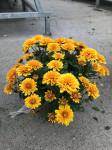 chrysantheme petites fleurs Ø25/30cm orangées  - pot Ø14cm
