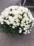 chrysantheme petites fleurs Ø40/45cm blancs  - pot Ø 19cm