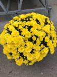 chrysantheme petites fleurs Ø40/45cm jaunes  - pot Ø 19cm