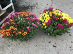 chrysantheme petites fleurs tricolores Ø40/50cm coupe Ø27cm