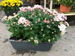 chrysantheme petites fleurs roses pales jardinière 40cm