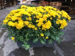 chrysantheme petites fleurs jaunes jardinière 40cm