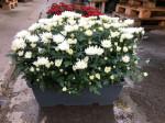 chrysantheme petites fleurs blancs jardinière 40cm