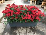 chrysantheme petites fleurs rouges jardinière 40cm