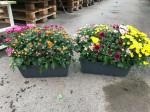 chrysantheme petites fleurs tricolores jardinière 40cm