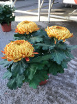 chrysantheme 3 têtes mordorés - pot Ø 19cm