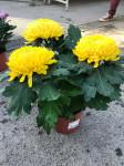 chrysantheme 3 têtes jaunes  - pot Ø 19cm