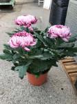 chrysantheme 3 têtes mauves  - pot Ø 19cm