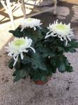 chrysantheme 3 têtes blancs - pot Ø 19cm