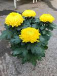 chrysantheme 4 têtes jaunes  - pot Ø 19cm