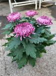 chrysantheme 4 têtes mauves  - pot Ø 19cm