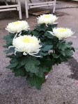 chrysantheme 4 têtes blancs - pot Ø 19cm