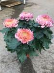 chrysantheme 4 têtes roses - pot Ø 19cm