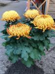chrysantheme 4 têtes mordorés - pot Ø 19cm