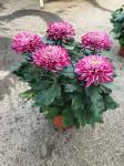 chrysantheme 5 têtes mauves  - pot Ø 19cm