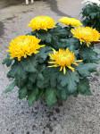 chrysantheme 5 têtes jaunes  - pot Ø 19cm