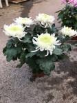 chrysantheme 5 têtes blancs - pot Ø 19cm