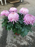 chrysantheme 5 têtes roses - pot Ø 19cm