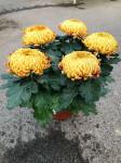chrysantheme 5 têtes mordorés - pot Ø 19cm