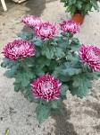 chrysantheme 6 têtes mauves  - pot Ø 19cm