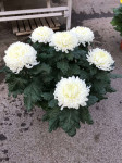 chrysantheme 6 têtes blancs - pot Ø 19cm