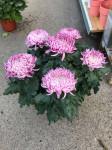 chrysantheme 6 têtes roses - pot Ø 19cm