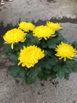 chrysantheme 6 têtes jaunes  - pot Ø 19cm