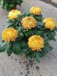 chrysantheme 6 têtes mordorés - pot Ø 19cm