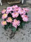 chrysantheme multi-têtes roses - pot Ø 21cm