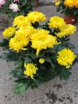 chrysantheme multi-têtes jaunes  - pot Ø 21cm