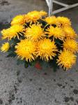 chrysantheme multi-têtes oranges - pot Ø 21cm