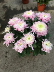 chrysantheme multi-têtes roses pales  - pot Ø 21cm