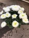 chrysantheme multi-têtes blancs - pot Ø 21cm