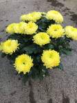 chrysantheme multi-têtes jaunes pales - pot Ø 21cm