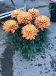 chrysantheme 'Originos' 6 têtes orangees - pot déco.Ø 23cm