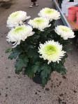 chrysantheme 'Originos' 6 têtes blancs - pot déco.Ø 23cm
